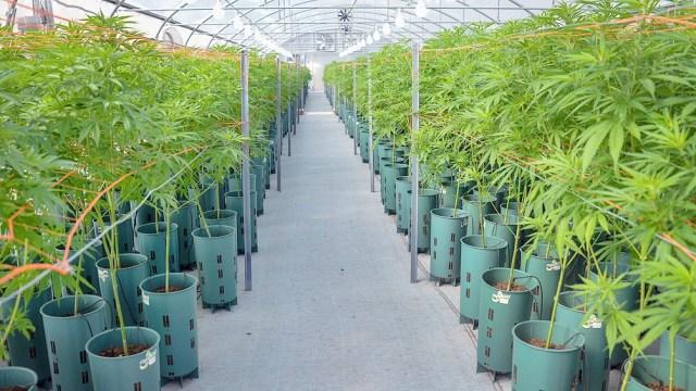 El mercado de cannabis medicinal y cáñamo industrial crece exponencialmente y será una fuente de empleo de calidad.