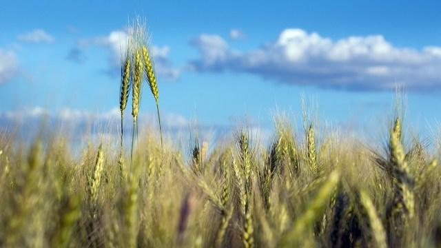 El trigo, una de las gramíneas que crece en superficie cultivada.