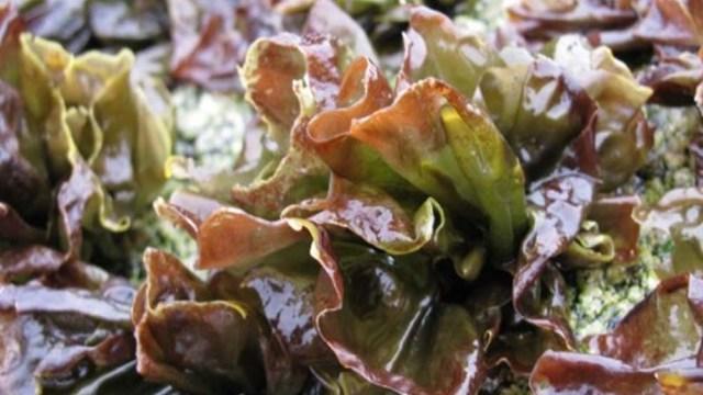 """Se trata de fideos con un 30% de sustitución de harina de trigo por algas, que logra la fabricación de """"pastas"""" con un 14% menos de calorías."""