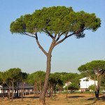 pinus_pinea_general (1)
