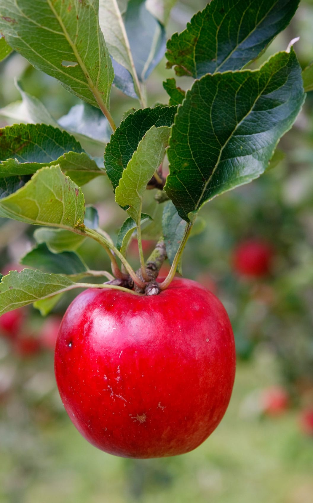 Top 10 Apples To Grow In Your Garden The Telegraph