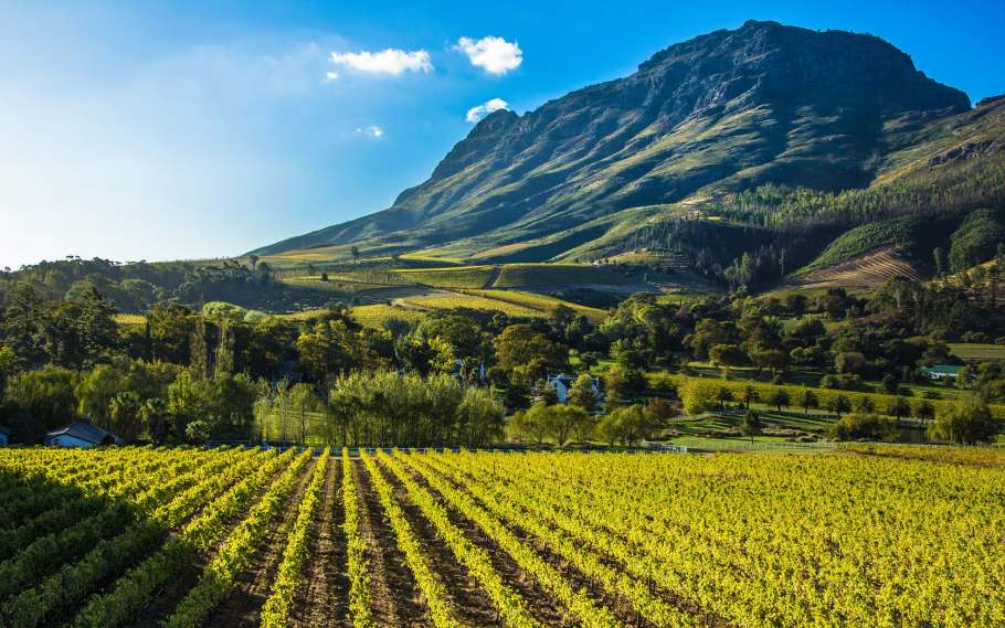 The muscular, vine-covered landscape of Stellenbosch