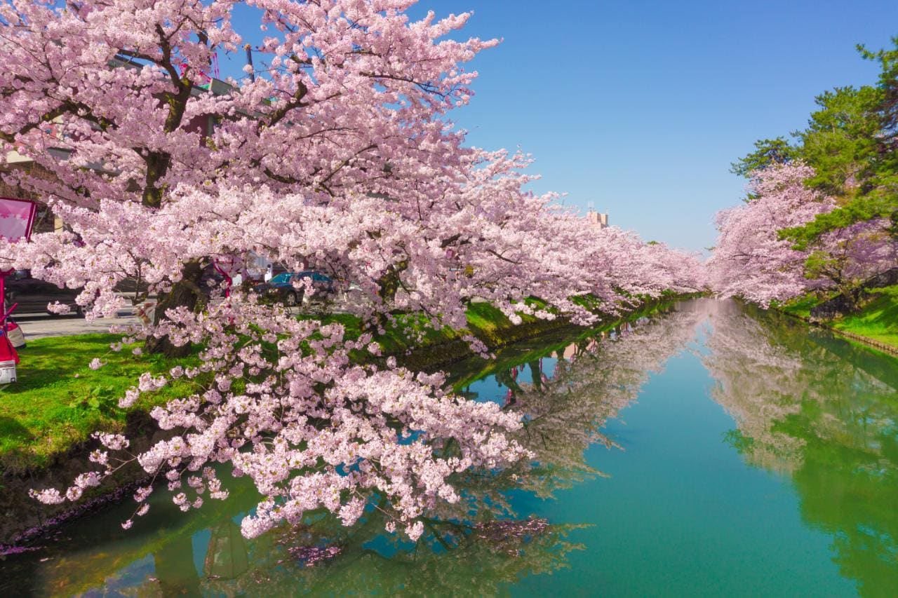 Falling Cherry Blossoms Wallpaper Guide To Cherry Blossom In Japan Telegraph Travel