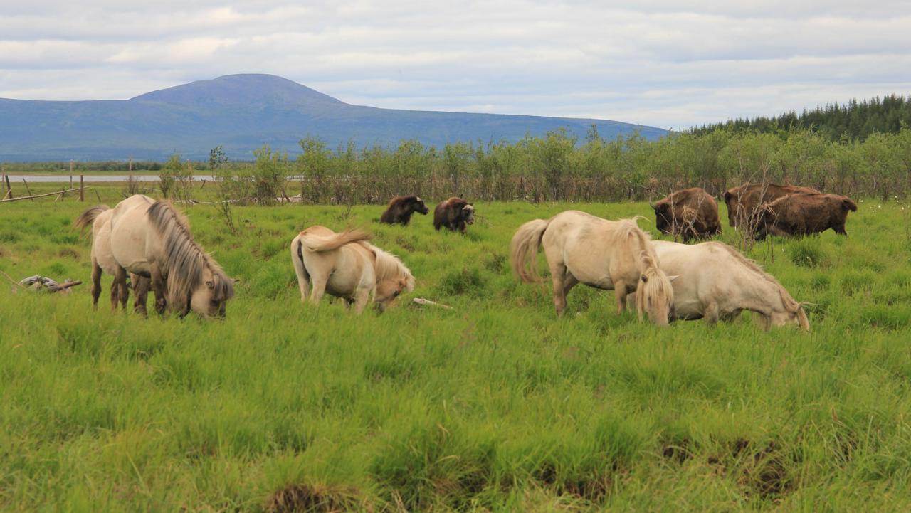 Pleistocene Park, Russia