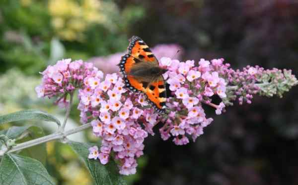 Buddleias Grow. . And Attract