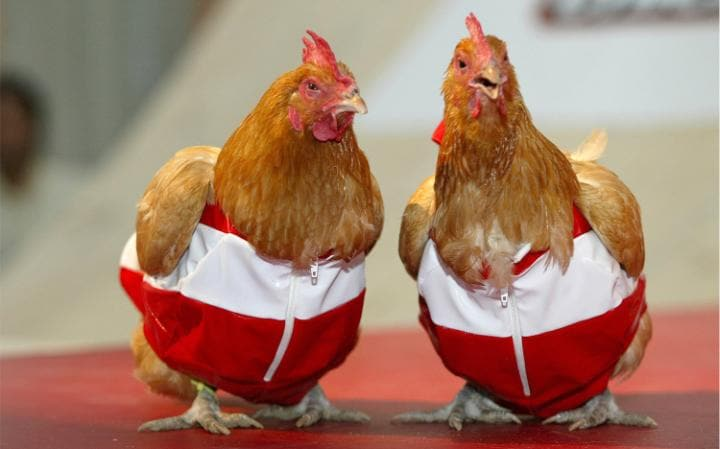 Two chickens wearing red and white shell suits