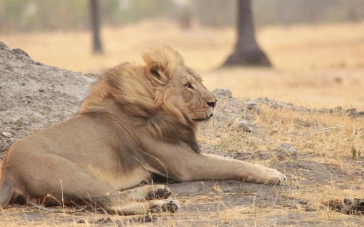 Xanda the Lion in Hwange National Park