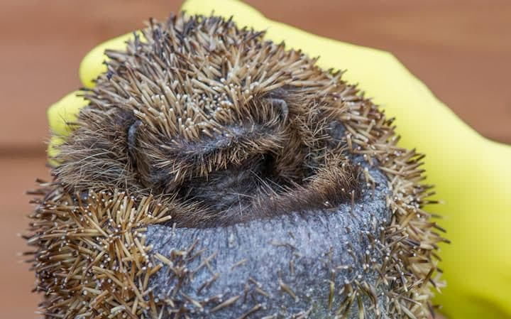 Hedgehog numbers have dropped to fewer than one million today