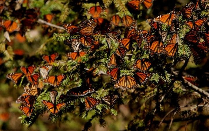 Monarch butterflies are seen at the El Roasario Butterfly Sanctuary outside Angangueo, Mexico.