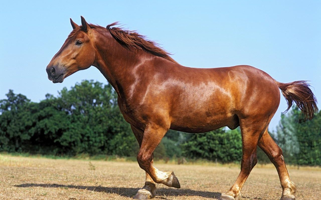 Revealed Why Britains Oldest Horse Breed Is Veering