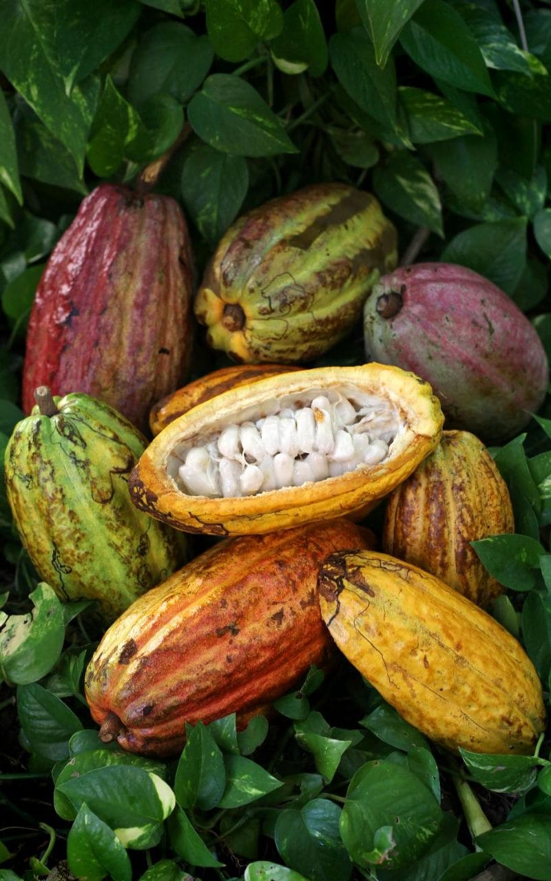 Cocoa pods in the Dominican Republic
