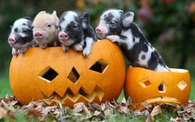 Pennywell piglets get into the Halloween spirit