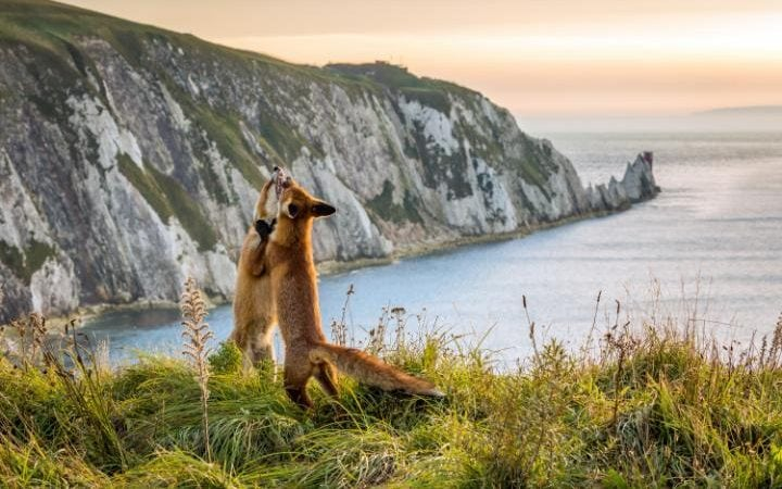Two fox cubs playing on the cliffs in front of the iconic Needles on the Isle of Wight.