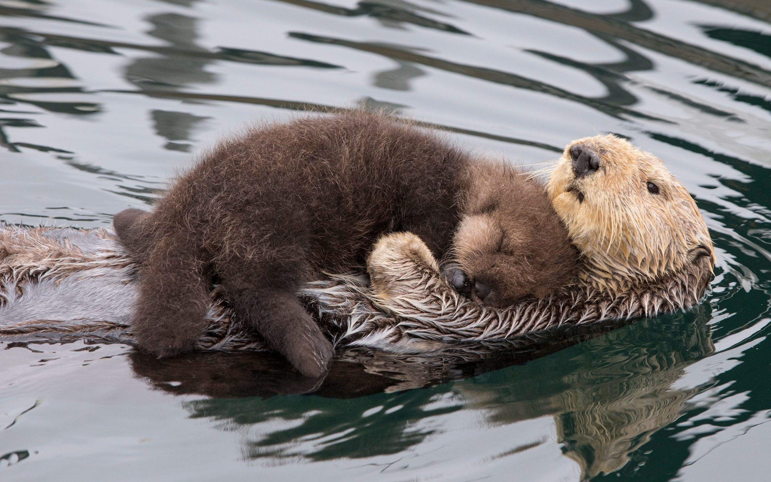 Sea Otter Cuddles Her Pup To Keep It Dry And Warm While It Sleeps