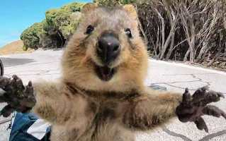 &39;Cutest quokka ever&39; Australian marsupial looks joyful as ...