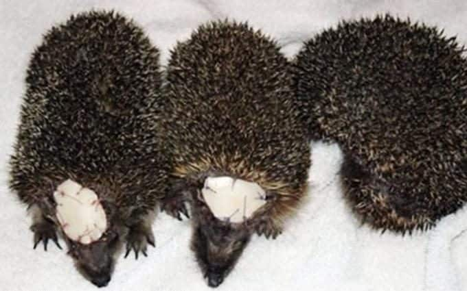The three badly injured hedgehogs who all had nasty encounters with a garden strimmer