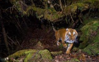 A wild tiger, captured by camera trap,