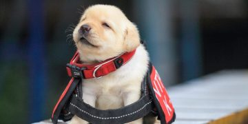 Dog years are a myth and puppies are 'center aged' by the time they are two, new study suggests