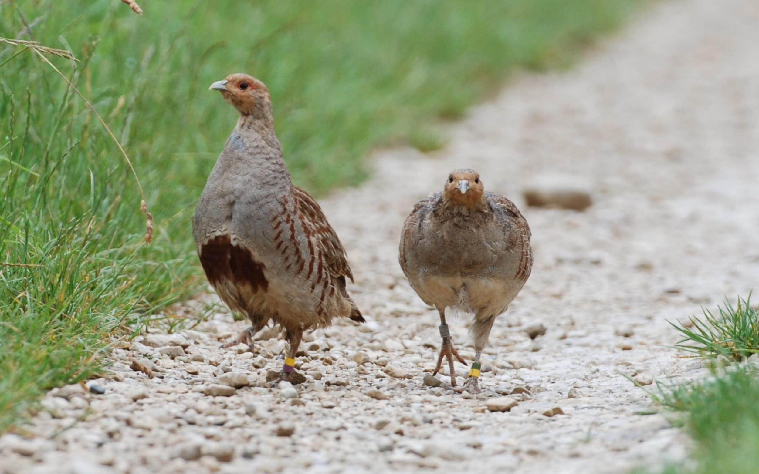 Numbers of grey partridge have also declined