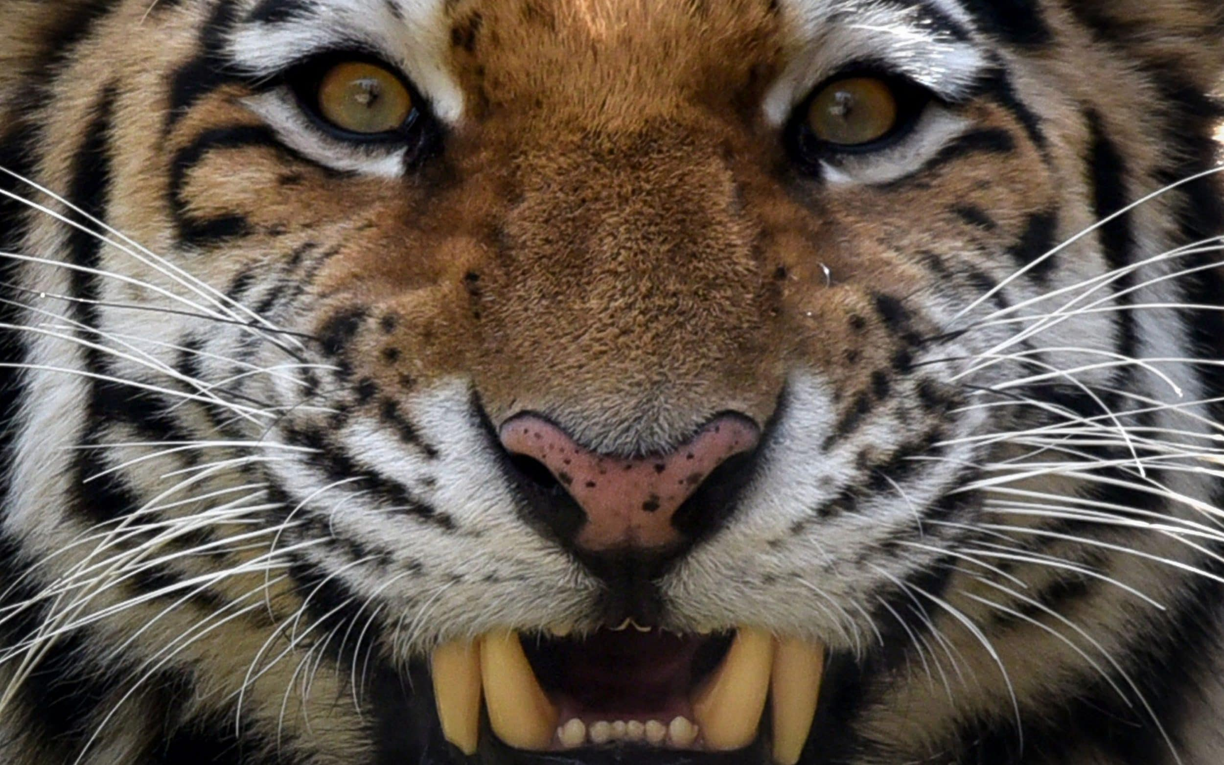 how the siberian tiger