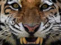 How the Siberian tiger was brought back from the brink of ...