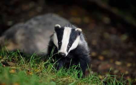 Image result for national badger day 2018