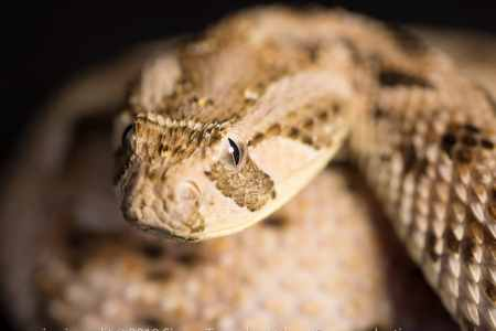 Snakes kill an estimated 138,000 people a year and leave 400,000 disabled CREDIT: SIMON TOWNSLEY