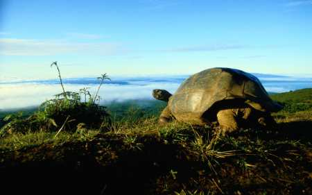 The giant tortoises of the Galapagos Islands helped inspire Charles Darwin when he landed about the Beagle in 1835