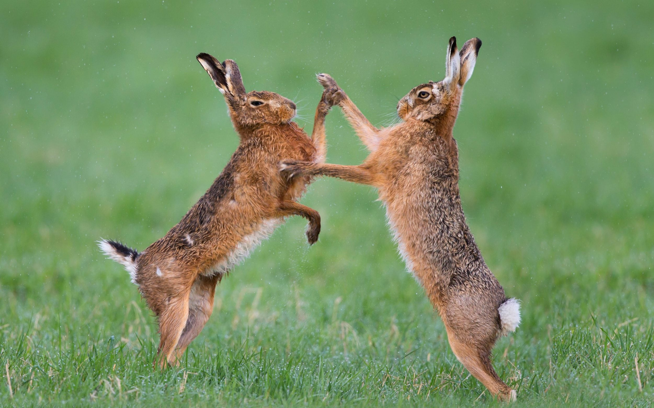 hares could be wiped
