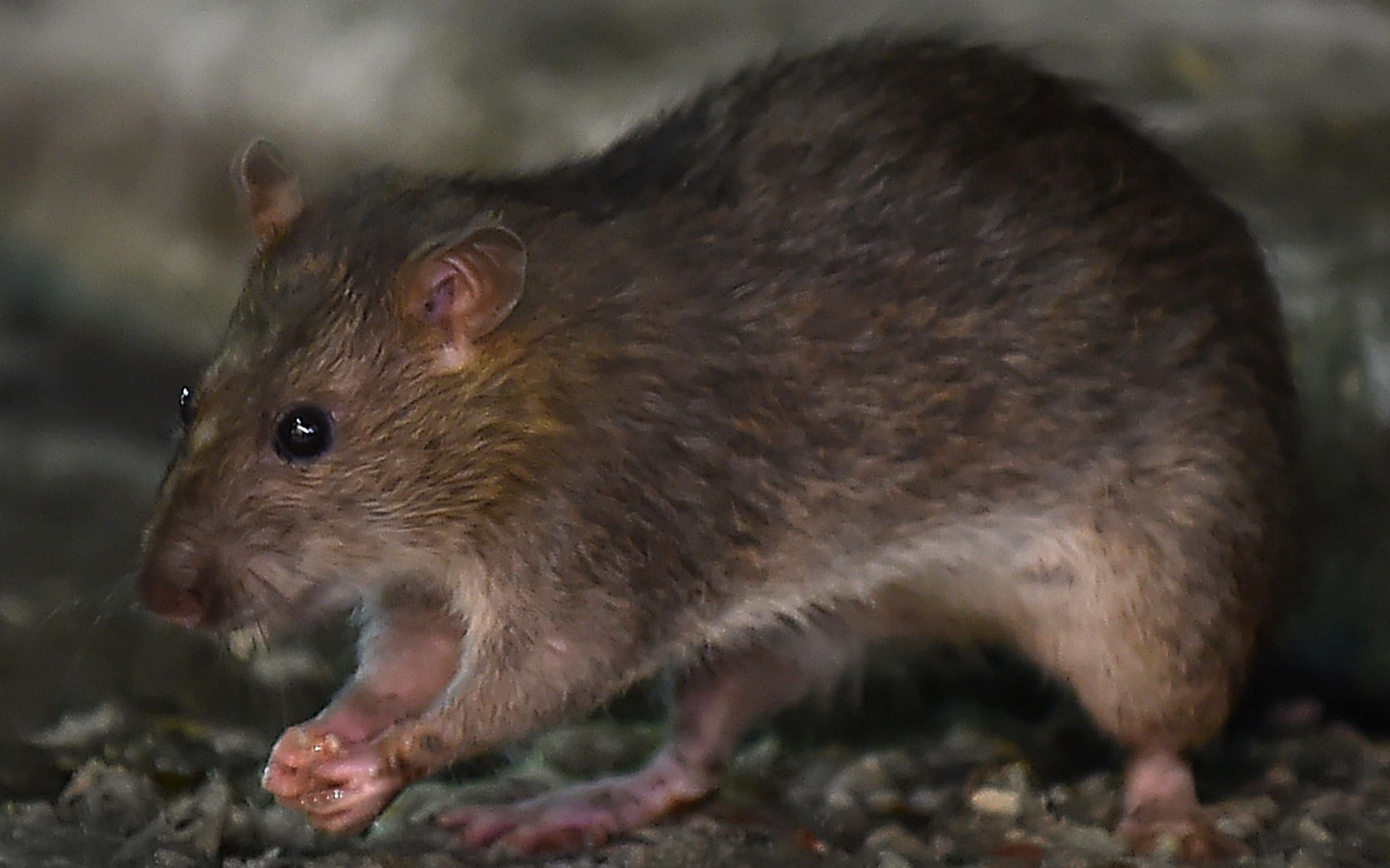 Panama sees rise in deadly hantavirus