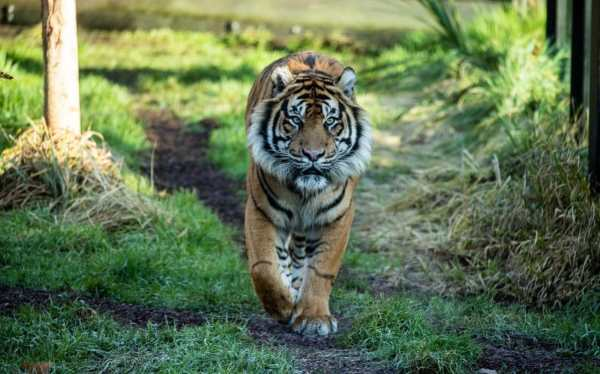 Male Tiger Mauls Intended Mate Death London Zoo