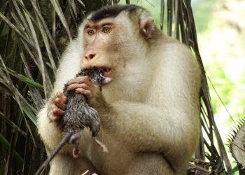 Killer rat-eating monkeys stun scientists in Malaysia
