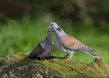 Farmers who help turtle doves should be rewarded with government money, RSPB says