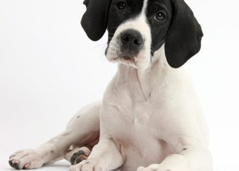 English dog breeds fall foul of their foreign cousins