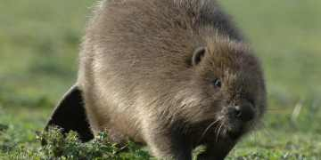 Beavers to be reintroduced on two National Trust websites, despite farmers' opposition