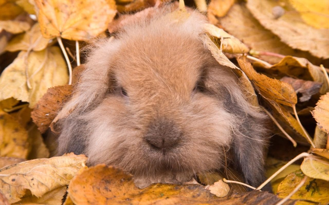 Fall Fantasy Wallpaper Pet Subjects What To Do When Your Rabbit S Teeth Grow Out