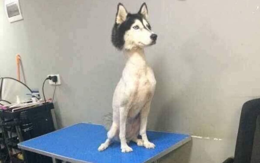 Husky with no hair  viral photo prompts questions and