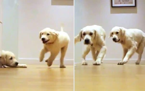 Two puppies also watch these golden retriever grow in this timelapse video rh telegraph