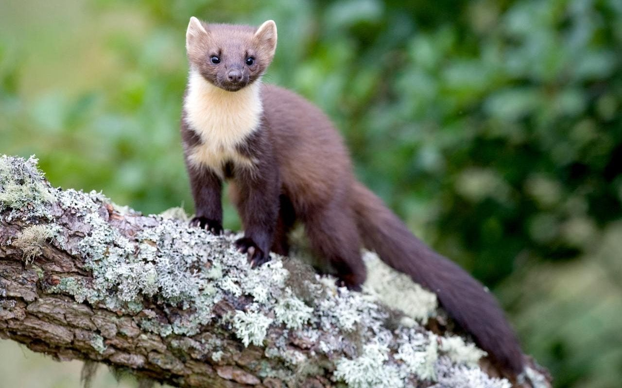 Domestic Animals Wallpaper Nature Notes Pine Martens Could Help To Save Our Red