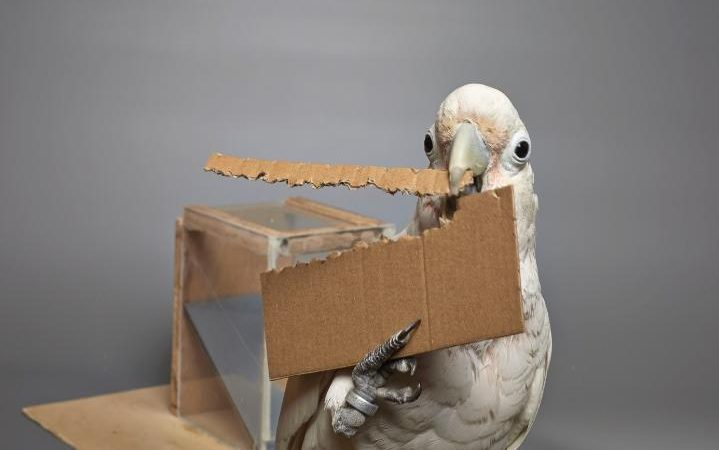 Image result for Cockatoo filmed making tools from twigs, wood and cardboard to reach nut
