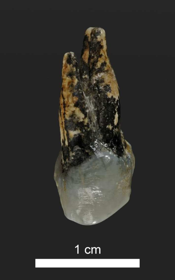 The tooth of Graecopithecus