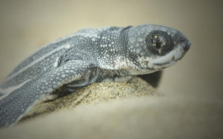 A baby leatherback turtle emerges from his nest after 60 days incubating under 2ft of sand