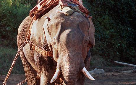 Heroin addicted elephant clean after rehab