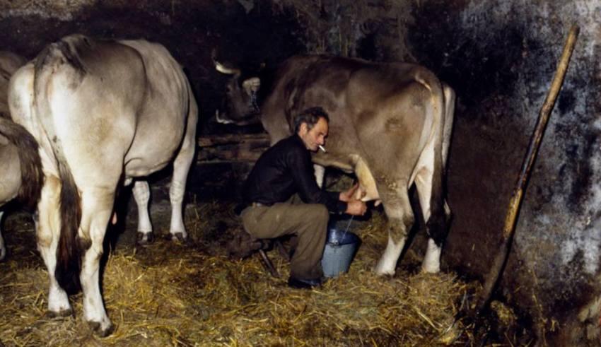 Mondo contadino della Valle Stura - La mungitura (Foto di Gianni Ottonello)