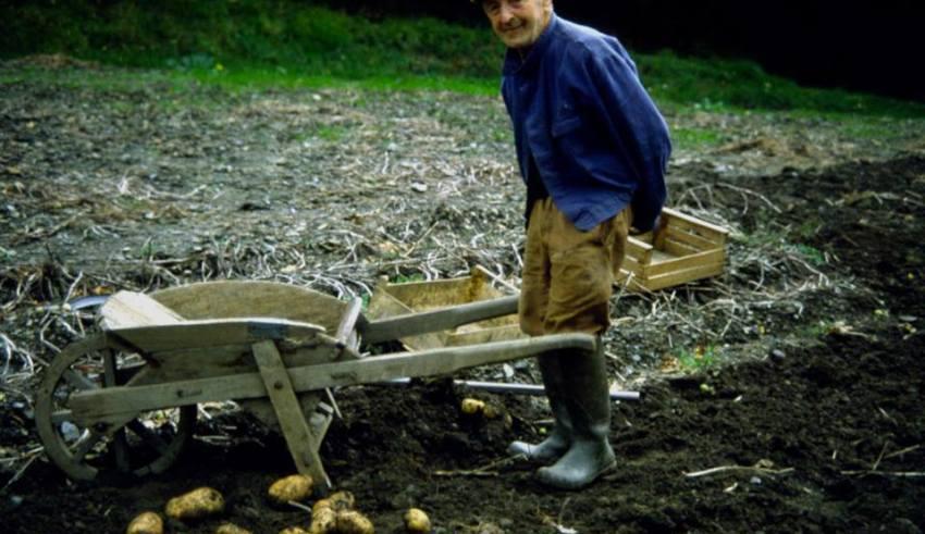 Mondo contadino della Valle Stura - raccolta delle patale - Foto di Gianni Ottonello