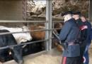 Capizzi, i carabinieri hanno sequestrato e sanzionato un'azienda agricola
