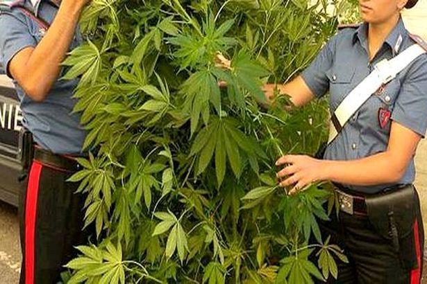 Sessa Aurunca: Mega coltivazione di marijuana scoperta dalla Benemerita: tre arresti