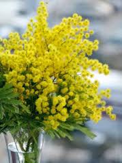 La mimosa, fiore simbolo della festa della donna.