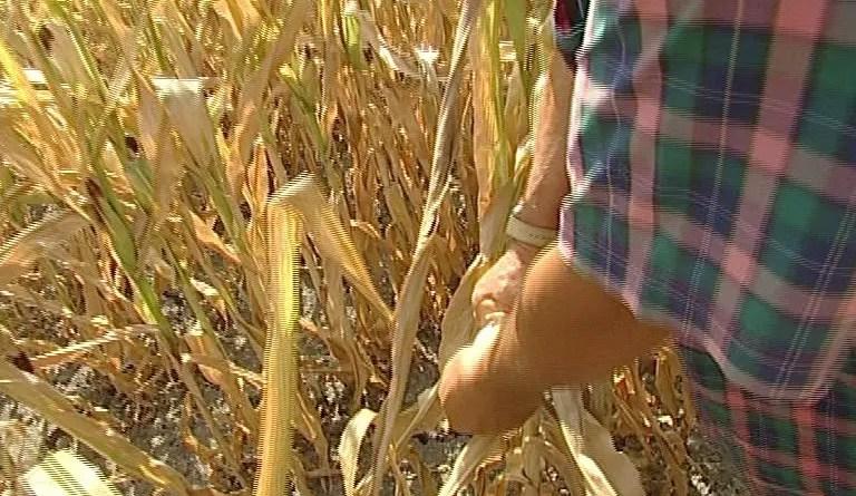 frumento mais-agricoltura