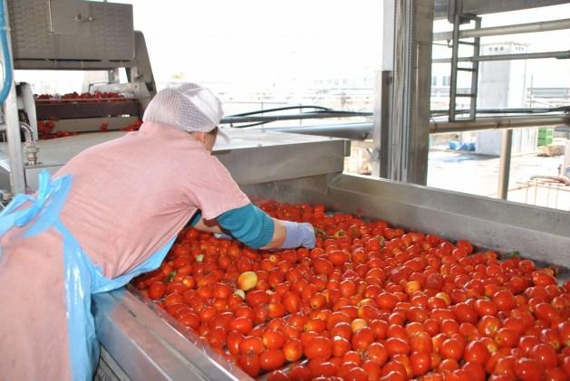 Pomodoro da industria, a Ferrara coltivati 5.703 ettari per la campagna 2018